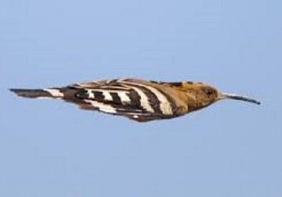 هدهد پرندهای بی اشتباه است، نکتهای که در کار خبر(دریافت کامل، برداشت صحیح و انتقال صادقانه) به شدت مهم است.