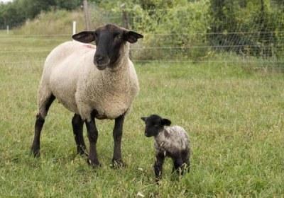 گوسفند، ذبح، بچه، مرده