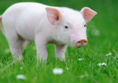 حرام بودن گوشت خوک