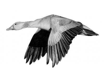 غاز، پرنده، طراحی