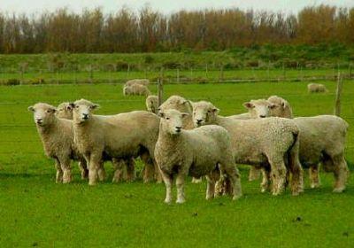 گوسفند و مزرعه