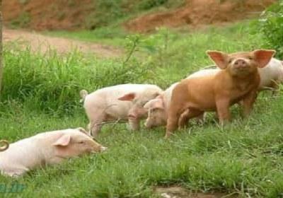 علت تحرم خوک
