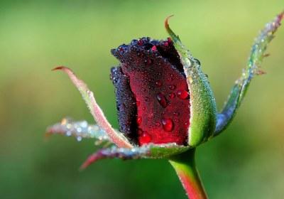 غنچه گل