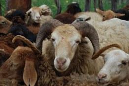 گوسفند، زکات، پول